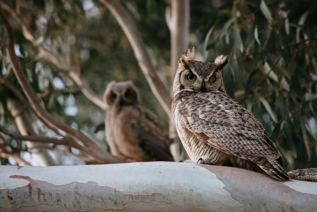 group-of-owls