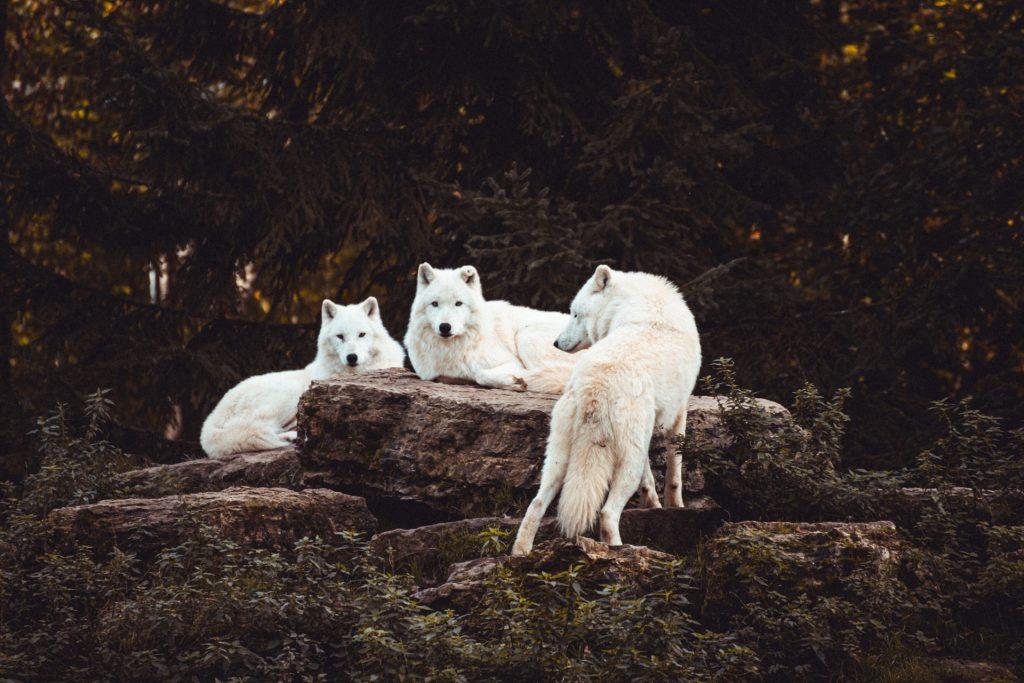 white-wolves