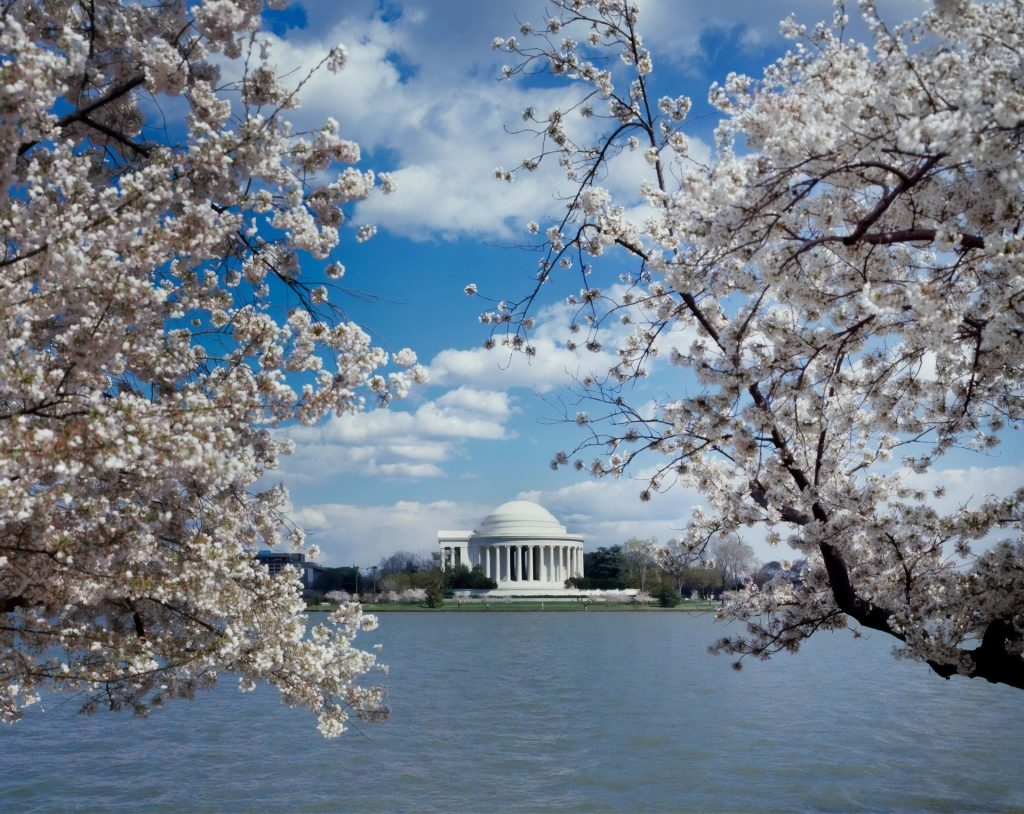 cherry-blossom-in-washington-dc